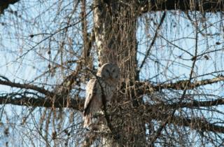 Ural owl_picture of Fulvio Genero
